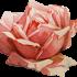 Розы купить в Туле