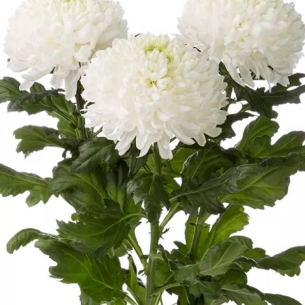 Хризантема одноголовая белая
