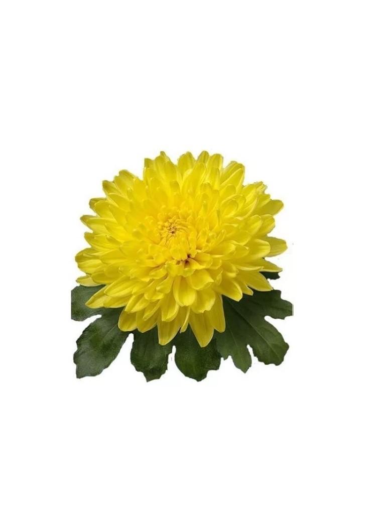 Хризантема одноголовая Магнум жёлтая