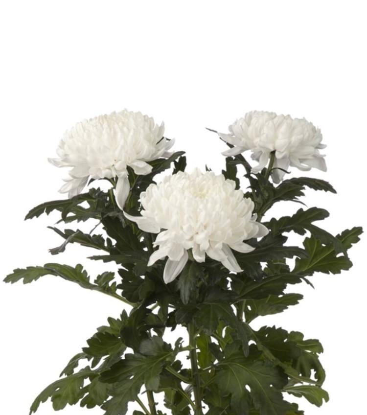 Хризантема одноголовая Гагарин белая