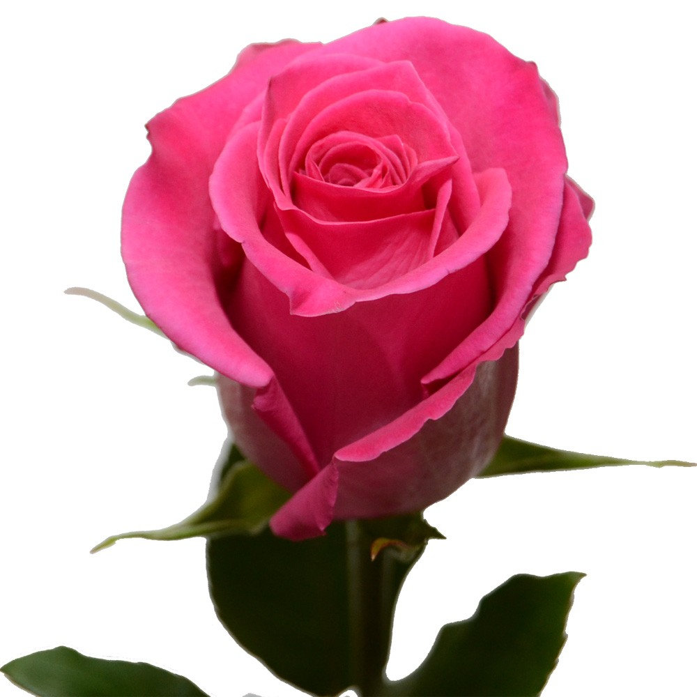 Роза пинк флоид