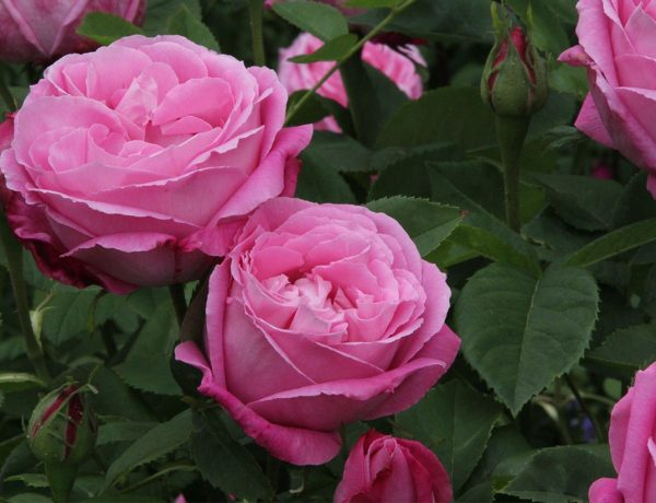 Розы ремонтантные