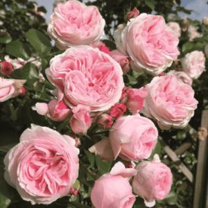 Розы гибридно полиантовые